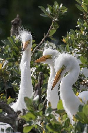 Egret chick trio