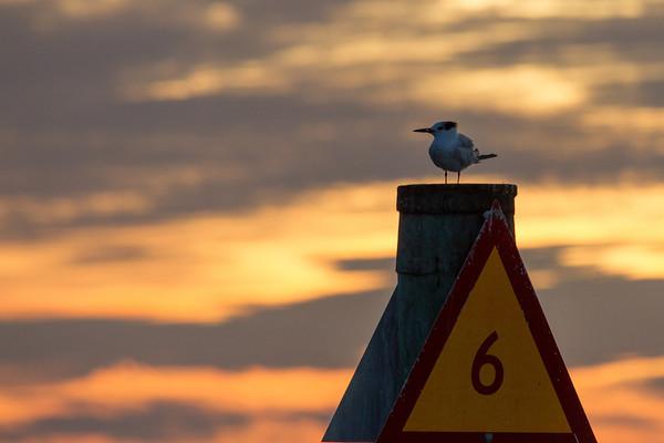 Tern at sunset