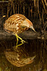 Bittern reflection