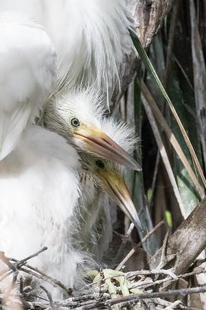 Cattle egret chicks