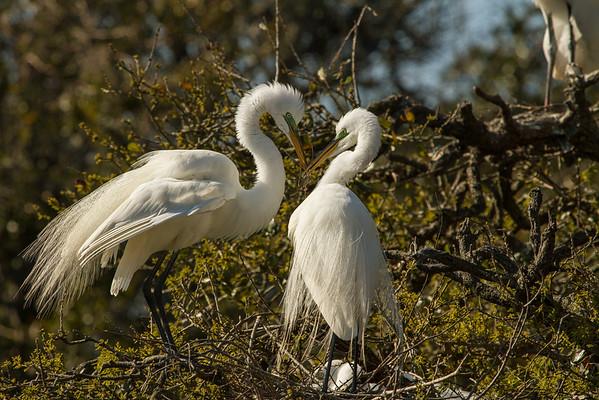 Egret nest building