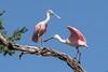 Spoonbill pair