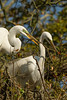 Egrets with twigs