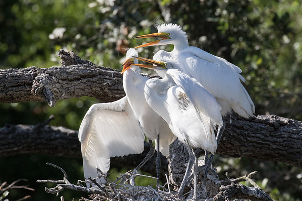 Egret chick trio