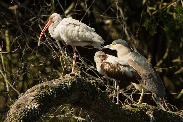 Two ibis and a green heron