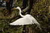 Flying egret with twig
