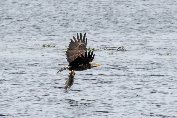 Juvenile bald eagle fishing