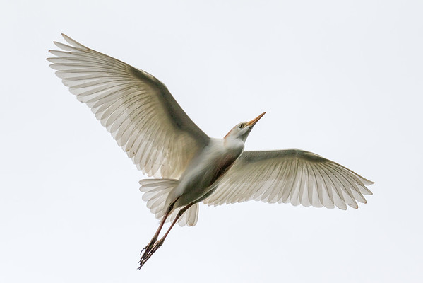 Cattle egret flight