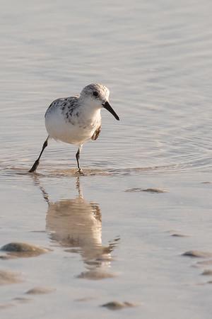 Sanderling reflection