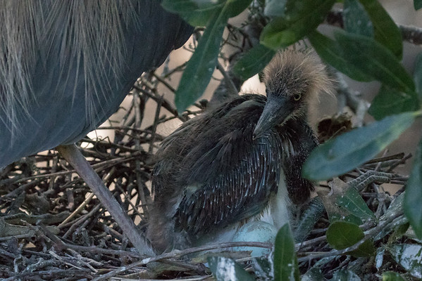 Tricolor heron chick