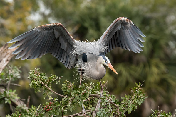 Great blue heron display