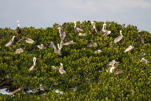 Roosting pelicans