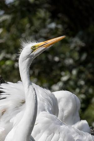 Egret chick portrait