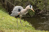 Great blue heron breeding plumage