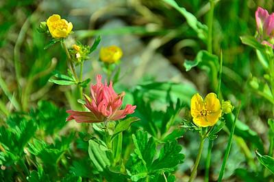 Orobanchaceae -  Castilleja miniata - Common Indian Paintbrush
