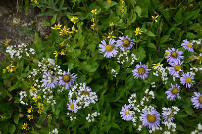 Purple: Asters White: Sitka Valerian (Valeriana sitchensis) Yellow: Long-Leaved Arnica (Arnica longifolia)