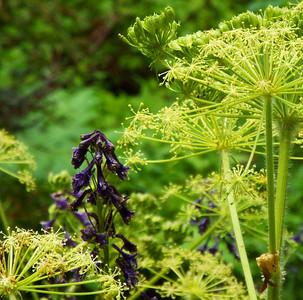 Plantaginaceae -  Penstemon procerus - Small-flowered Penstemon and Heracleum sphondylium -  Cow Parsnip