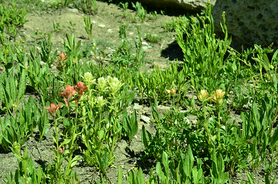 Orobanchaceae -  Castilleja sulphurea - Sulfur Paintbrush and Castilleja miniata - Common Indian Paintbrush