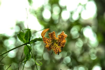 Lilium superbum - Turk's cap lily