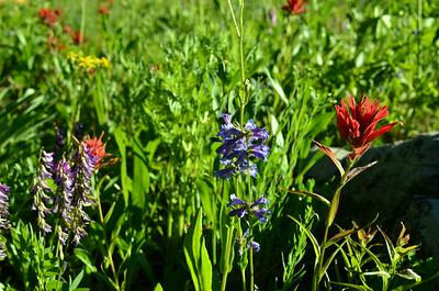 Orobanchaceae -  Castilleja miniata - Common Indian Paintbrush Penstemon cyaneus - Blue Pentemon