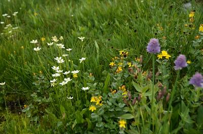 Wildflowers: White: Fringed Grass-of-Parnasus Yellow: Western St. John's-Wort (Hypericum formosum) Purple: Wild Chives