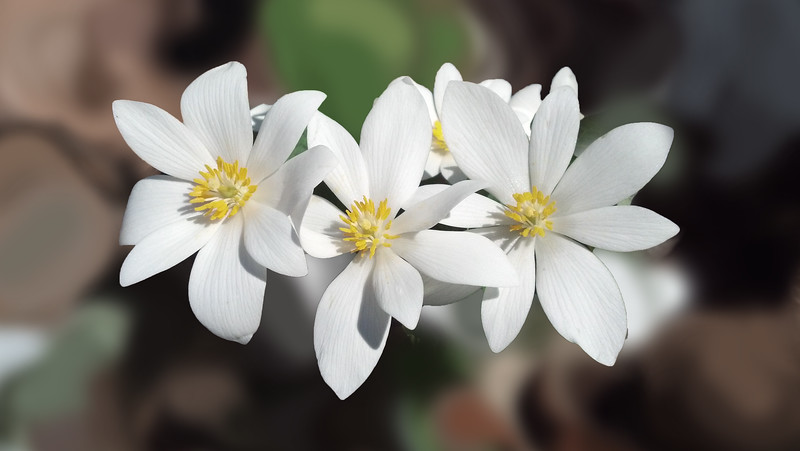 Blood Root,