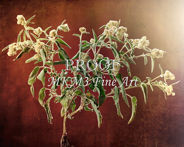 Goat Weed in Color  2053.103
