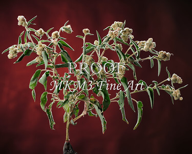 Goat Weed in Color  2053.102