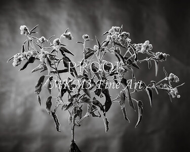 Goat Weed in Black and White  2053.204