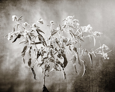 Goat Weed in Black and White  2053.205