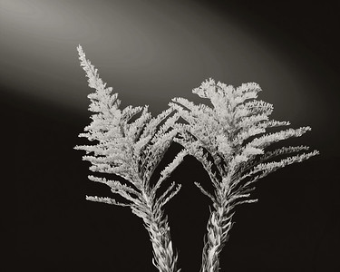 Rag Weed in Black and White  2053.201