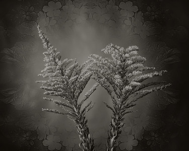 Rag Weed in Black and White  2053.204