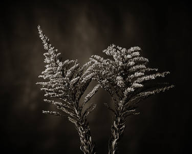 Rag Weed in Black and White  2053.202