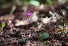 Colorado Co wildflower<br /> Fairy Slipper, Calypso bulbosa