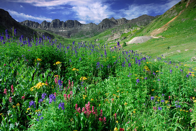 Wild Flowers American Basin and Crested Butte Co
