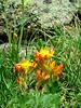 Yellow Stonecrop<br /> Crassulaceae (Stonecrop Family)