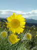 Tetraneuris grandiflora. <br /> (Old Man of the Mountain)<br /> Asteraceae (Sunflower Family) <br /> Alpine. Tundra. Summer.