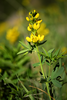 Thermopsis montana (Golden Banner)<br /> Fabaceae (Pea Family) <br /> Montane, subalpine. Woodlands, meadows. Summer.