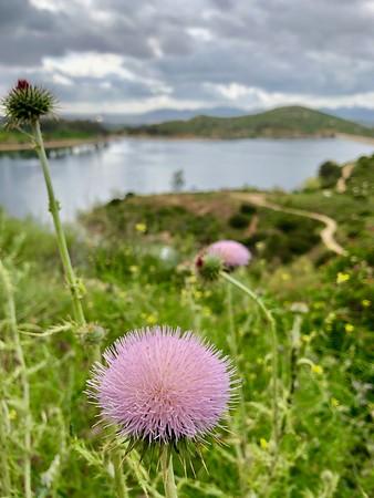 Pink Thistle flower