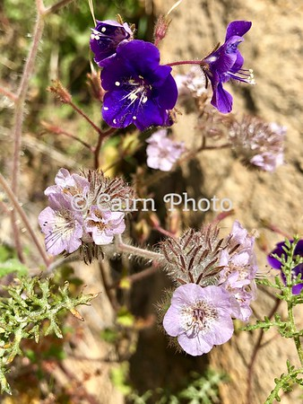 California Bluebells with  Caterpillar Scorpionweed