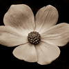 Dogwood Bloom-Sepia
