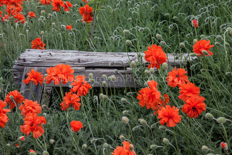 Poppies and Bench #1