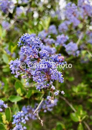 California Wild Lilac