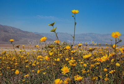 Desert Sunflower~Death Valley National Park
