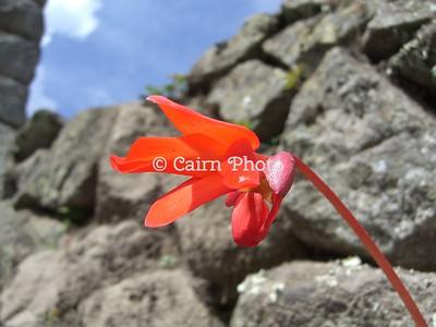 Peruvian Red Begonia