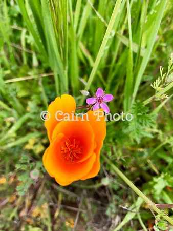 Redstem Stork's Bill and a California Poppy