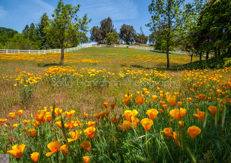 Field of Poppies #2