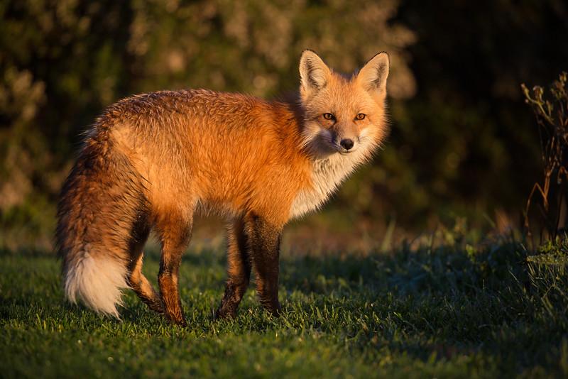 Red Fox (Vulpes vulples)