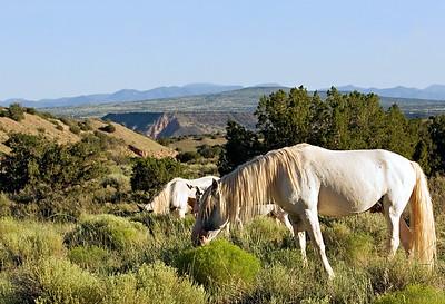 Placitas Wild Horses, NM