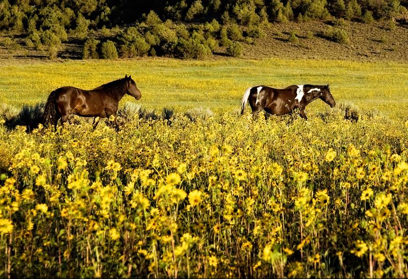 Sun Flower Glory, NM<br /> Monero Mustang Sanctuary, Tierra Amarilla, NM
